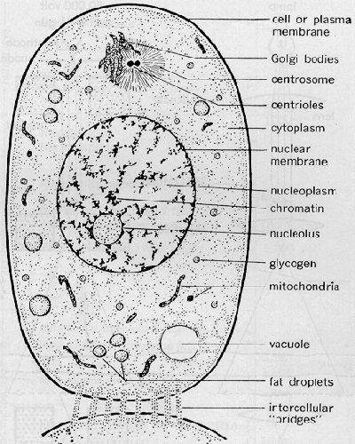 Black and White Animal Cell Diagram Labeled