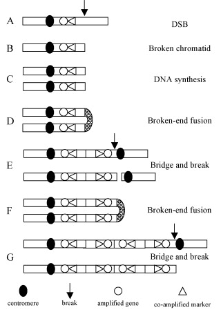 breakage fusion cycle
