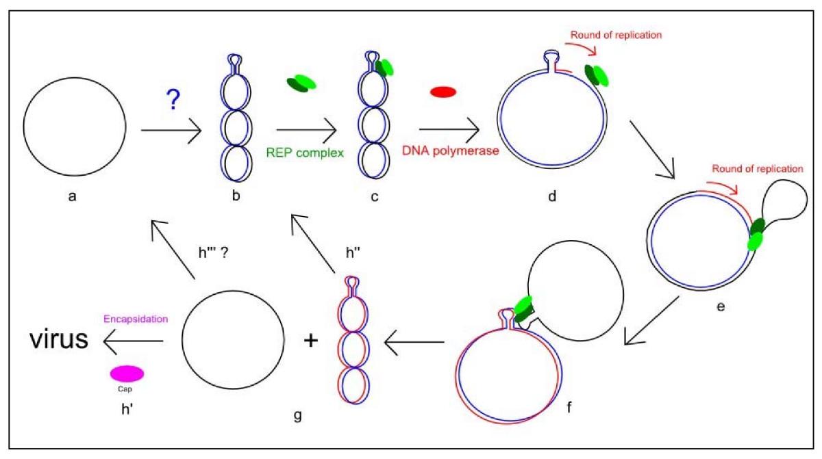 models of replication assignment help homework help online biology cairns model of dna