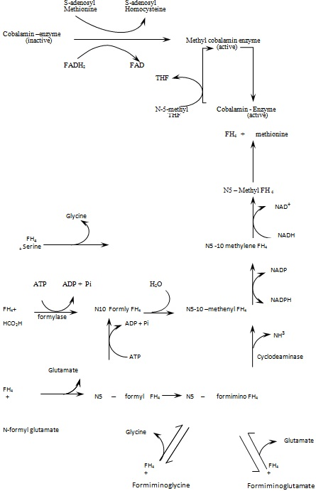 interoconversions of tetrahydrofolate coenzymes during the metablic processes
