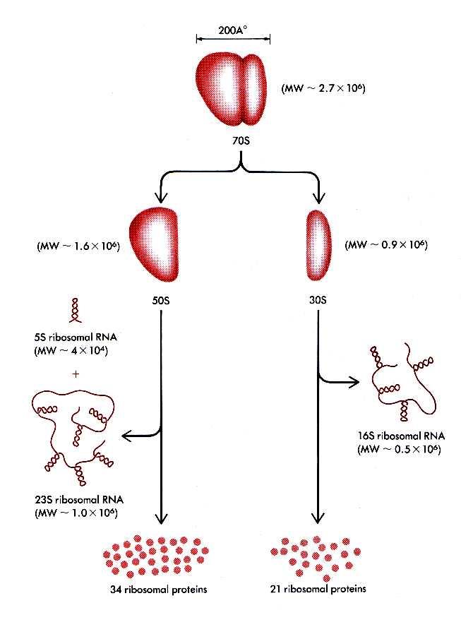 Simple Ribosomal Rna Structure   www.pixshark.com - Images ...