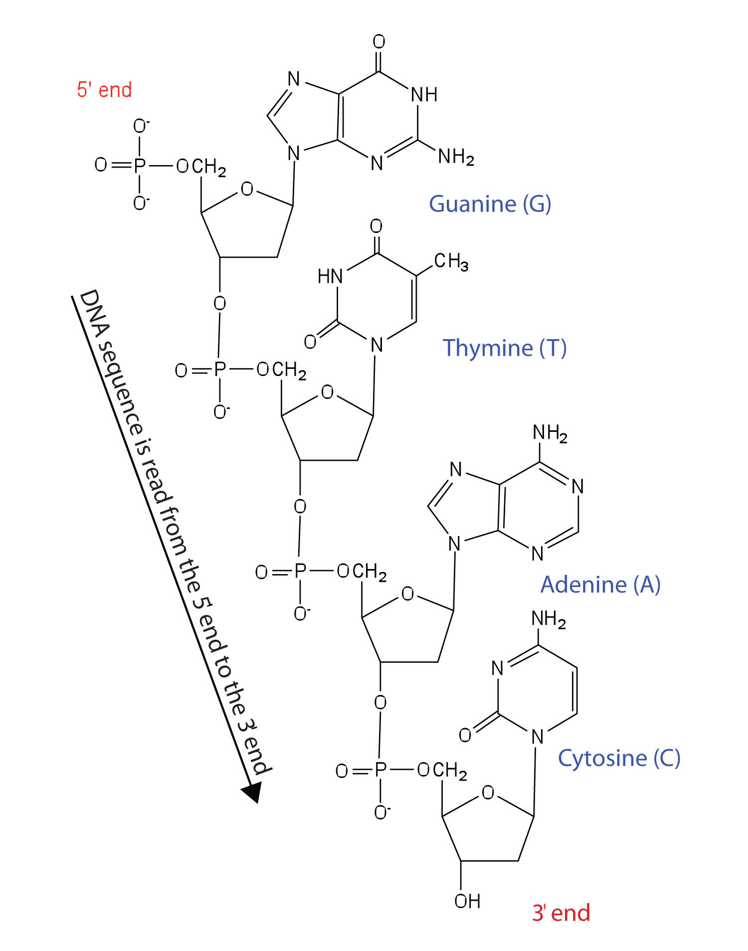 Dna rna nucleotides homework help